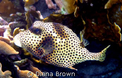 Taken with a canon. Spotted Trunkfish by Diana Brown