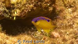 Honey Gregory--- damsel fish by Fred Lentz