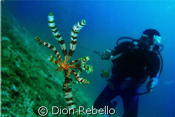 A Feather Star swimming? always wanted to see one, and go... by Dion Rebello