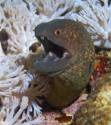 Hi there! Eel from Anilao, Philippines. by Jim Chambers