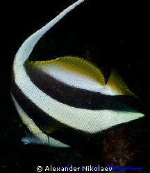 Long-fin bannerfish. Canon 40D, SIGMA 50mm macro. by Alexander Nikolaev