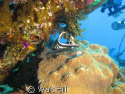 Drum along with Fairy Basslet ... wow lots of divers want... by Walt Hill