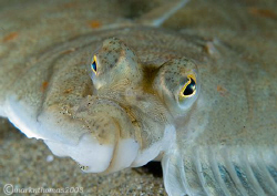 Fish Face. Plaice under Trefor Pier, N. Wales. 60mm & w... by Mark Thomas