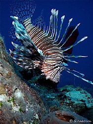 """""""Beautiful but a menace to the reef life""""  The Lionfish .... by Steven Anderson"""