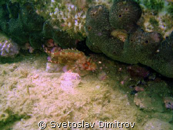 Dragon fish, quite small but very dangerous  by Svetoslav Dimitrov