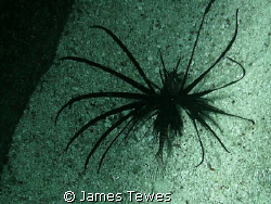 Black Lionfish inhabiting the space between two concrete ... by James Tewes