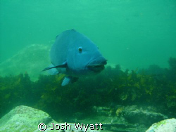 Sydney Blue Groper shot with Intova IC-600. by Josh Wyatt