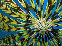 Is this the national flag of Malaysia or a Feather Star?.... by Brian Mayes
