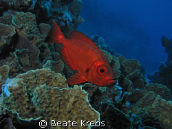 Soldierfish of the Red Sea , Canon S70 and INON Z240 by Beate Krebs