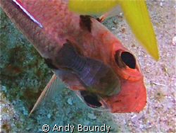 Cymothoid isopod attached to a blackbar soldier fish - at... by Andy Boundy