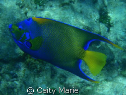 This is an angel fish, taken off the Florida Keys in abou... by Caity Marie
