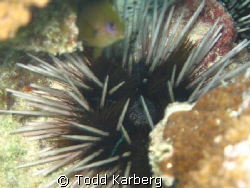 Sea Urchin by Todd Karberg