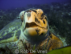 Turtle, looking up while eating, in lots of current. by Rob De Vries