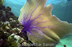 Sea Fan, Georgetown, Grand Cayman by Mordechai Saxon