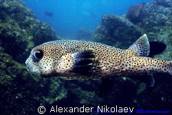 Puffer fish. Canon 40D, SIGMA 50mm macro. Dibba Rock, Fuj... by Alexander Nikolaev