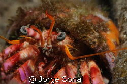 Hermit crab staring at the camera... by Jorge Sorial
