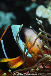 Very nervious Two Banded Clown Fish by Victor Tabernero