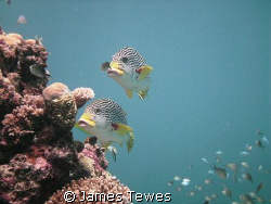 Two Sweetlip hovering off the side of a coral bommie by James Tewes