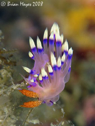 I think this nudibranch with the fancy name of Much-desir... by Brian Mayes