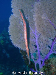 A trumpet fish, nicely lined up with a sea fan. This was ... by Andy Boundy