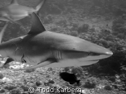 Pregnant Grey Reef Shark (Canon G9) by Todd Karberg