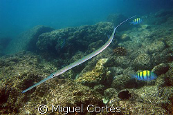 A garpike in the Sea of Cortez. by Miguel Cortés