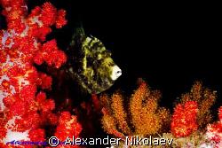 Reticulated filefish. Martini Rock, Fujera, UAE. Canon 40... by Alexander Nikolaev