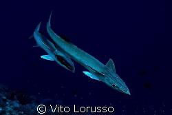 Fishs - Echeneis naucrates by Vito Lorusso