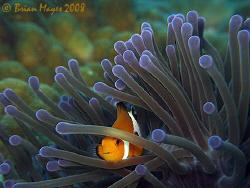 Peek-a-boo Clownfish.......False Clown Anemonefish (Amphi... by Brian Mayes