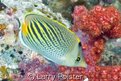 Dot and dash butterfly fish, D70s, twin D125 strobes by Larry Polster