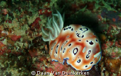 Chromodoris leopardus on the Perhentian Islands.  by Daan Van Duinkerken