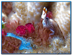"""Over The Top"" - Flatworm (Prostheceraeus sp.) in Tulambe... by Marco Waagmeester"