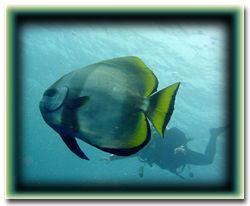 Spadefish- Palau by M. Dalsaso