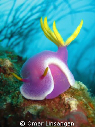 Hypselodoris apolegma. This photograph was taken in 2007 ... by Omar Linsangan