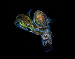 Rare mating dumpling squid.   A big thanks to Brian May... by Cal Mero