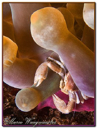 Porcelain crab in Anemone (Canon G9, D2000w, UCL165) by Marco Waagmeester