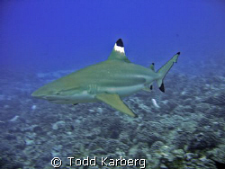 Black tip reef shark by Todd Karberg