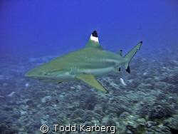 Black tip reef shark by Todd Karberg