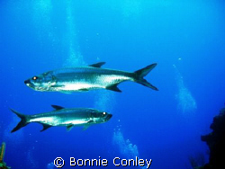 Tarpon at Grand Cayman.  Photo taken on July 27, 2008 wit... by Bonnie Conley