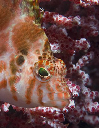 Pretty little Dwarf Hawkfish (Cirrhitichthys falco) in Pu... by Jim Chambers