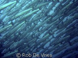 The biggest school of Baracuda's I have ever seen. In Sip... by Rob De Vries