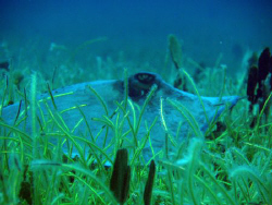 a southern stingray lie in ambush,on sea plant cover.. by Durand Gerald