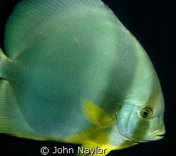 Red sea bat fish by John Naylor