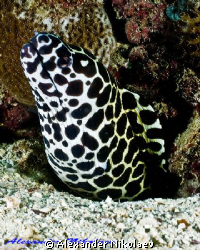 Honeycomb moray. Canon 40D, SIGMA 50mm MACRO. by Alexander Nikolaev