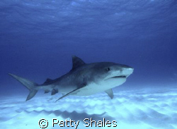 Tiger shark no cage! Beautiful creatures, huge,dynamic,an... by Patty Shales