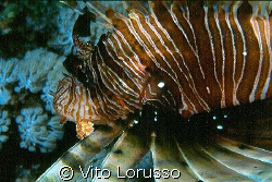 Fishs - Pterois miles by Vito Lorusso