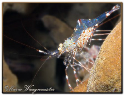 Commensal shrimp (Periclimenes venustus) with eggs in Tul... by Marco Waagmeester