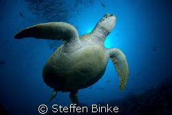 Green Turtle, Nikon D200 by Steffen Binke