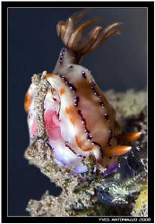 Pretty nudi laying eggs D200/!05 VR by Yves Antoniazzo
