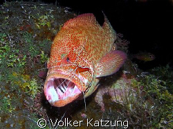 Grouper with banded cleaner shrimp by Volker Katzung